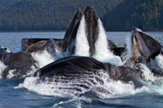 """从""""气泡柱捕猎法""""到""""鲸尾拍水捕猎法"""",座头鲸的捕食技能是怎么得来的?-SAT阅读背景知识"""